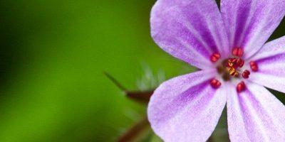 Géranium rosat – la fleur de l'île de la Réunion