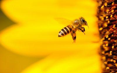L'univers des abeilles et ses bienfaits : la gelée royale, la Propolis, le miel et le pollen